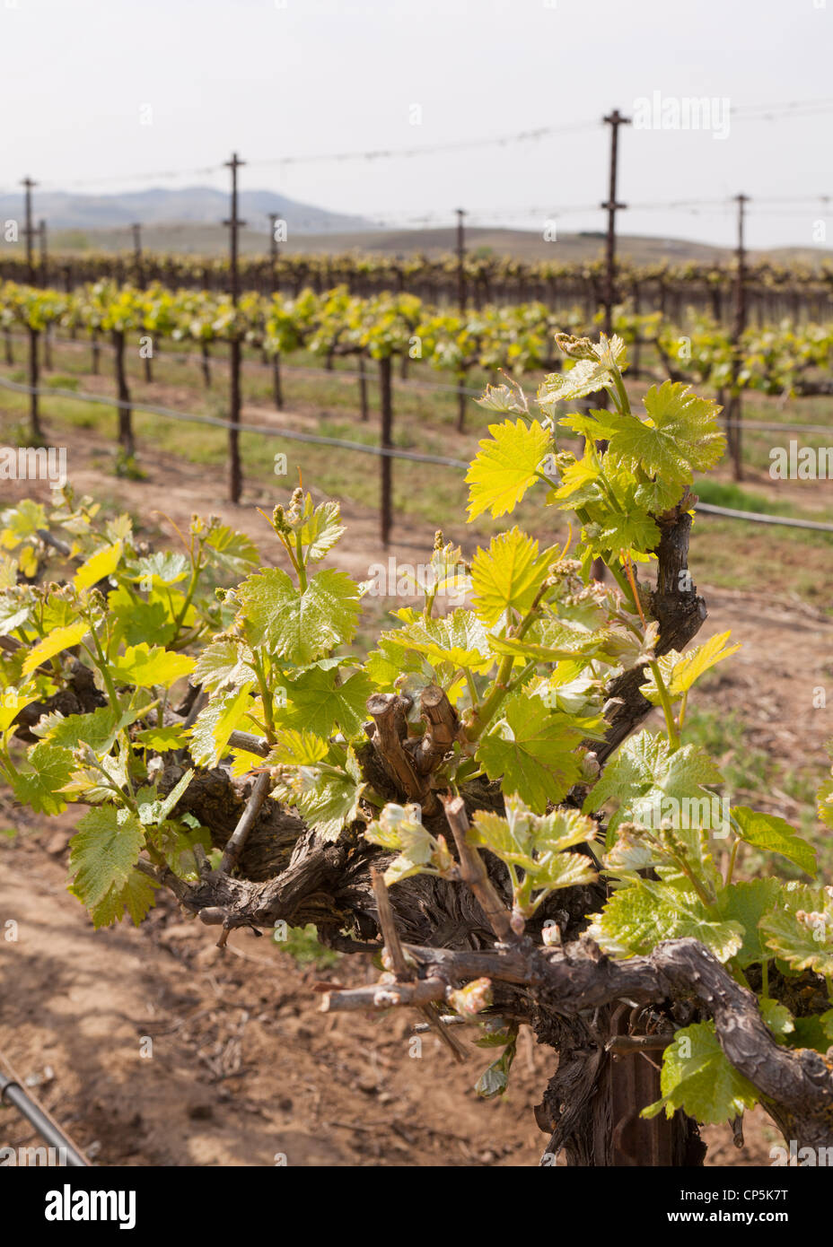 Spring growth of commercial grape vineyard in Central California, USA Stock Photo