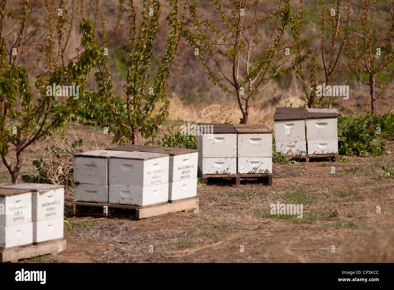 Commercial wood beehives on farm - Stock Image