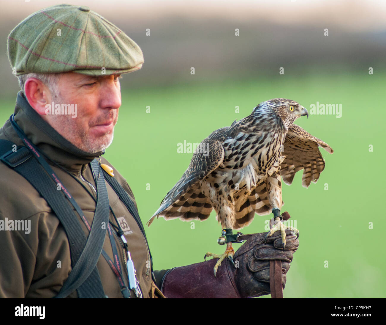 A Goshawk on falconers wrist glove during a days hunting in England - Stock Image