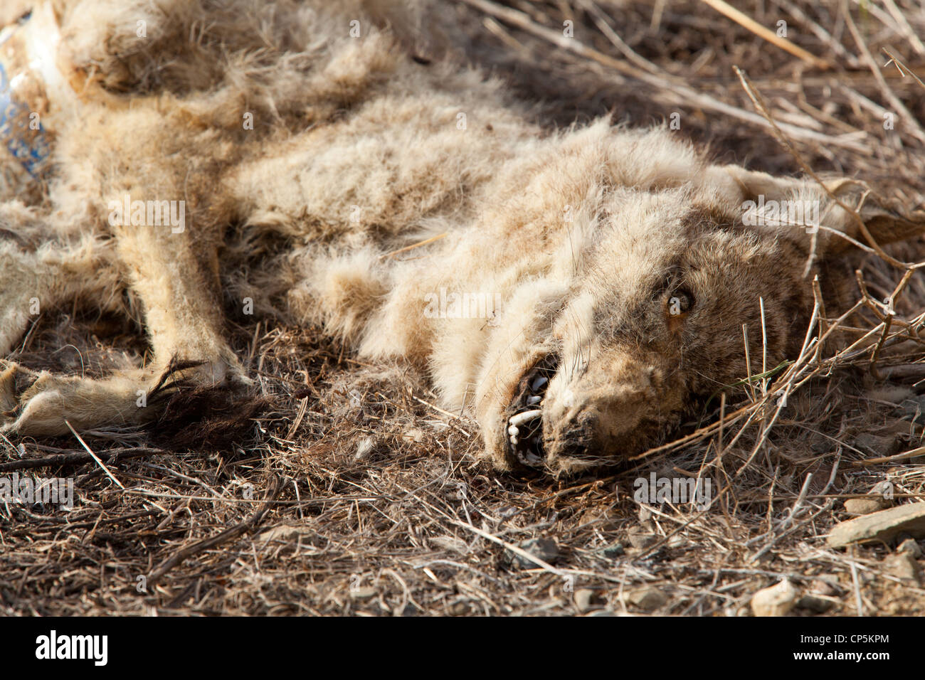 A dead, decaying body and head of a North American coyote (Canis latrans) - California USA - Stock Image