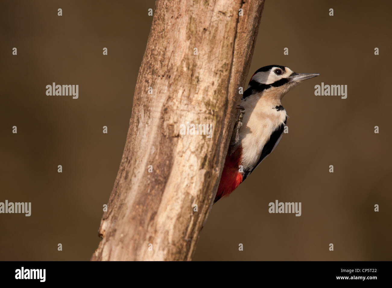 Great Spotted Woodpecker, Dendrocopos major, woodland bird from Europe, parks, wood, trees, bird, leaves, leaf, - Stock Image