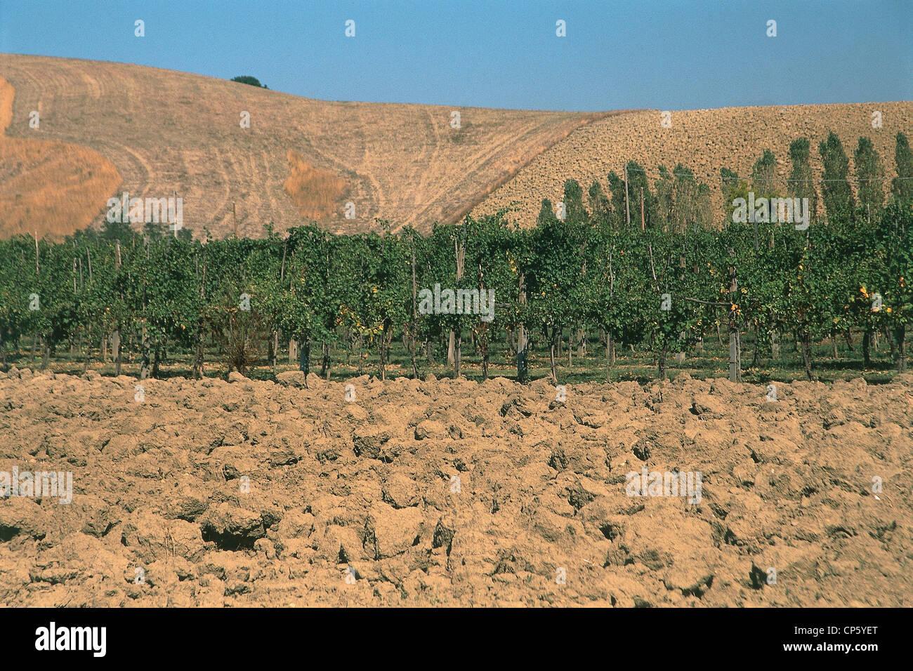 Emilia Romagna - Castel San Pietro Terme (Bo). Vineyards, grapes Trebbiano Stock Photo