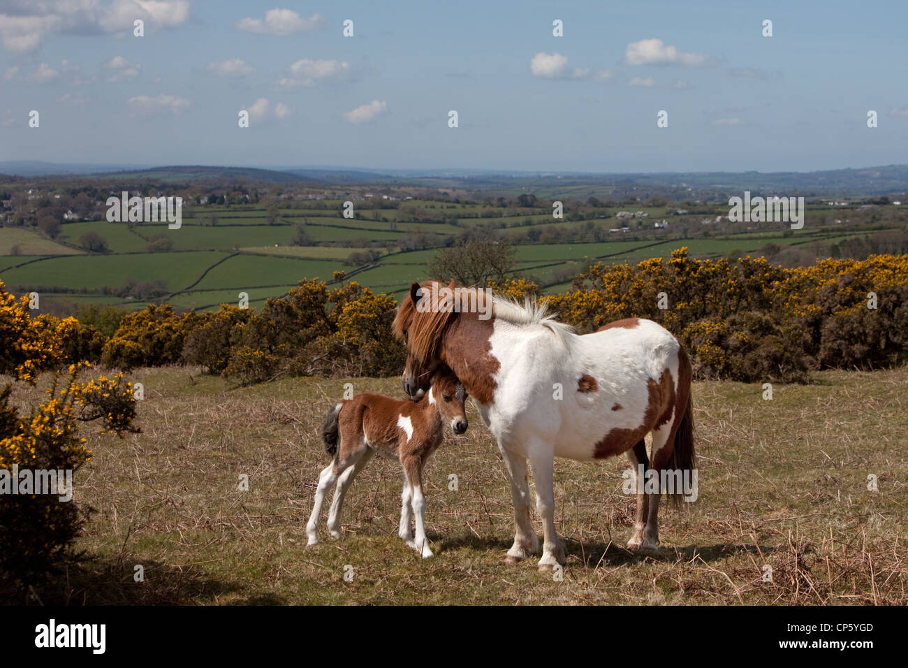 A Dartmoor Pony and young foal relax in the sun above the village of Meavy, Dartmoor, Devon UK. - Stock Image