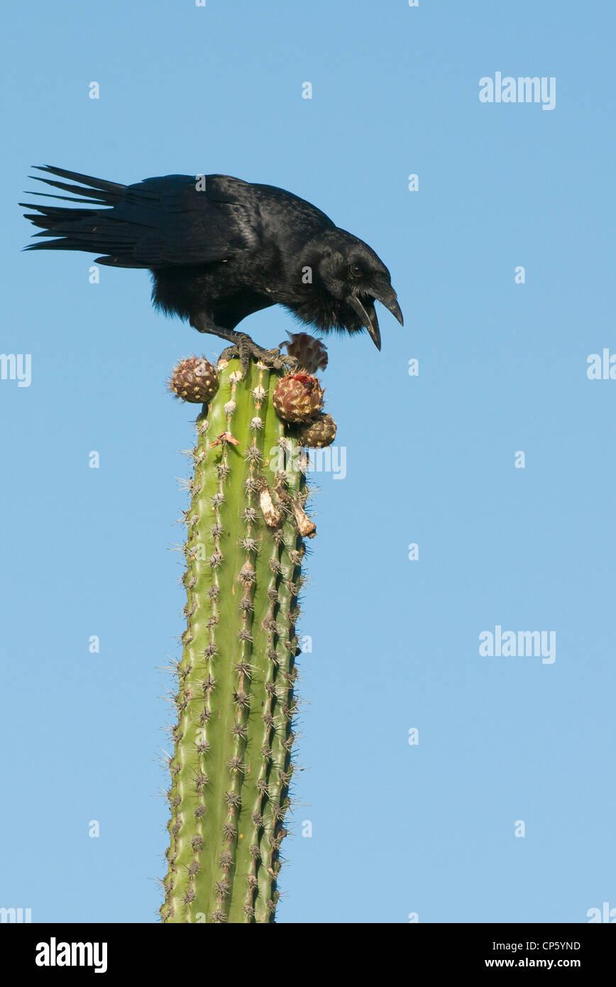 Hispaniolan Palm Crow (Corvus palmarum) Isla Cabritos, Lago Enriquillo National Park, Dominican Republic, Feeding - Stock Image