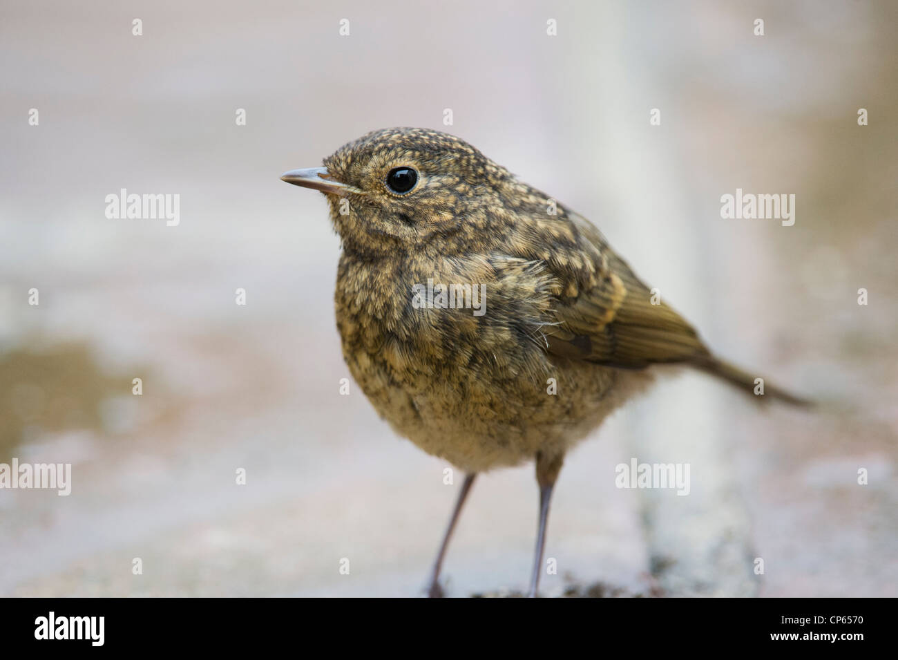 Fledged juvenile Robin on garden path. UK - Stock Image