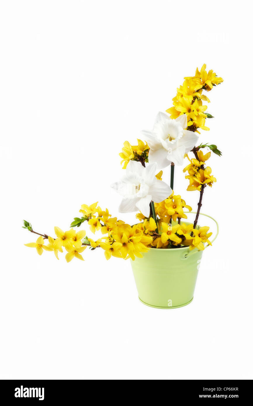 Spring flower arrangement with Daffodils and Forsythia - Stock Image