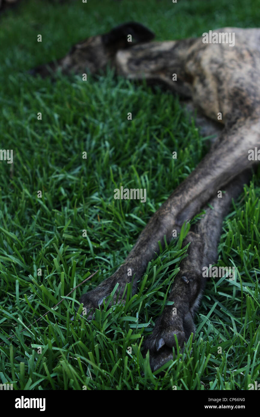 A greyhound dog asleep in the grass. - Stock Image