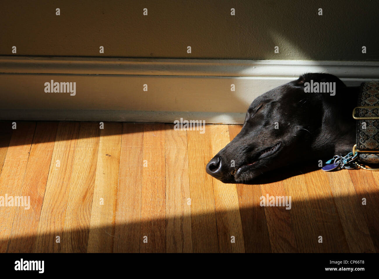 A greyhound dog sleeping in a ray of sun on the floor. - Stock Image