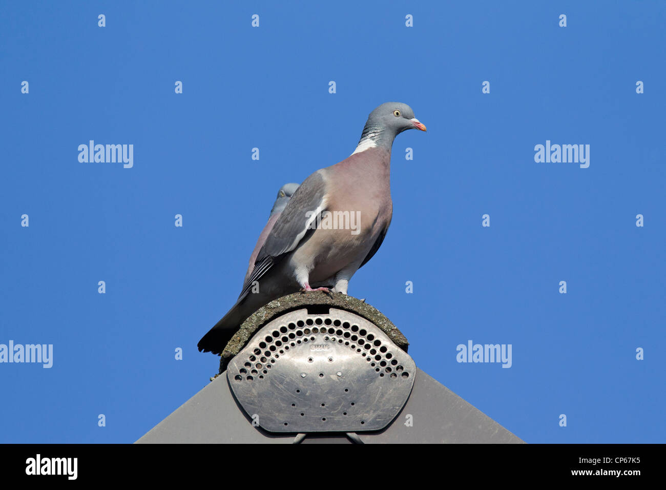 Common Wood Pigeon (Columba palumbus) perched on rooftop, Germany - Stock Image