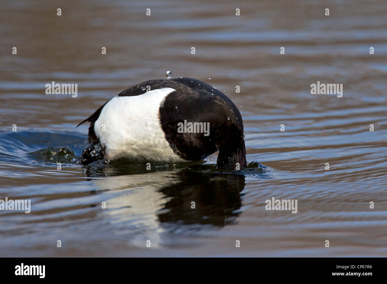 Tufted duck (Aythya fuligula) diving in water of lake, Germany - Stock Image