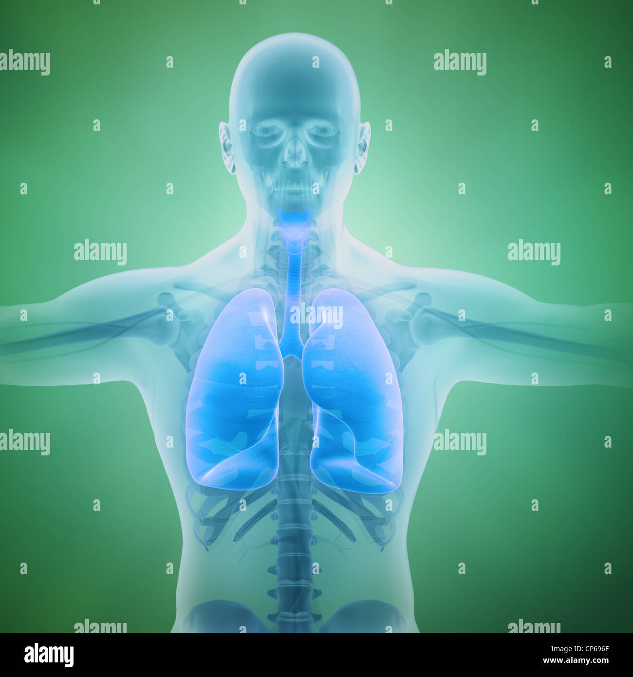 Respiratory system scientific illustration with visible lungs - Stock Image