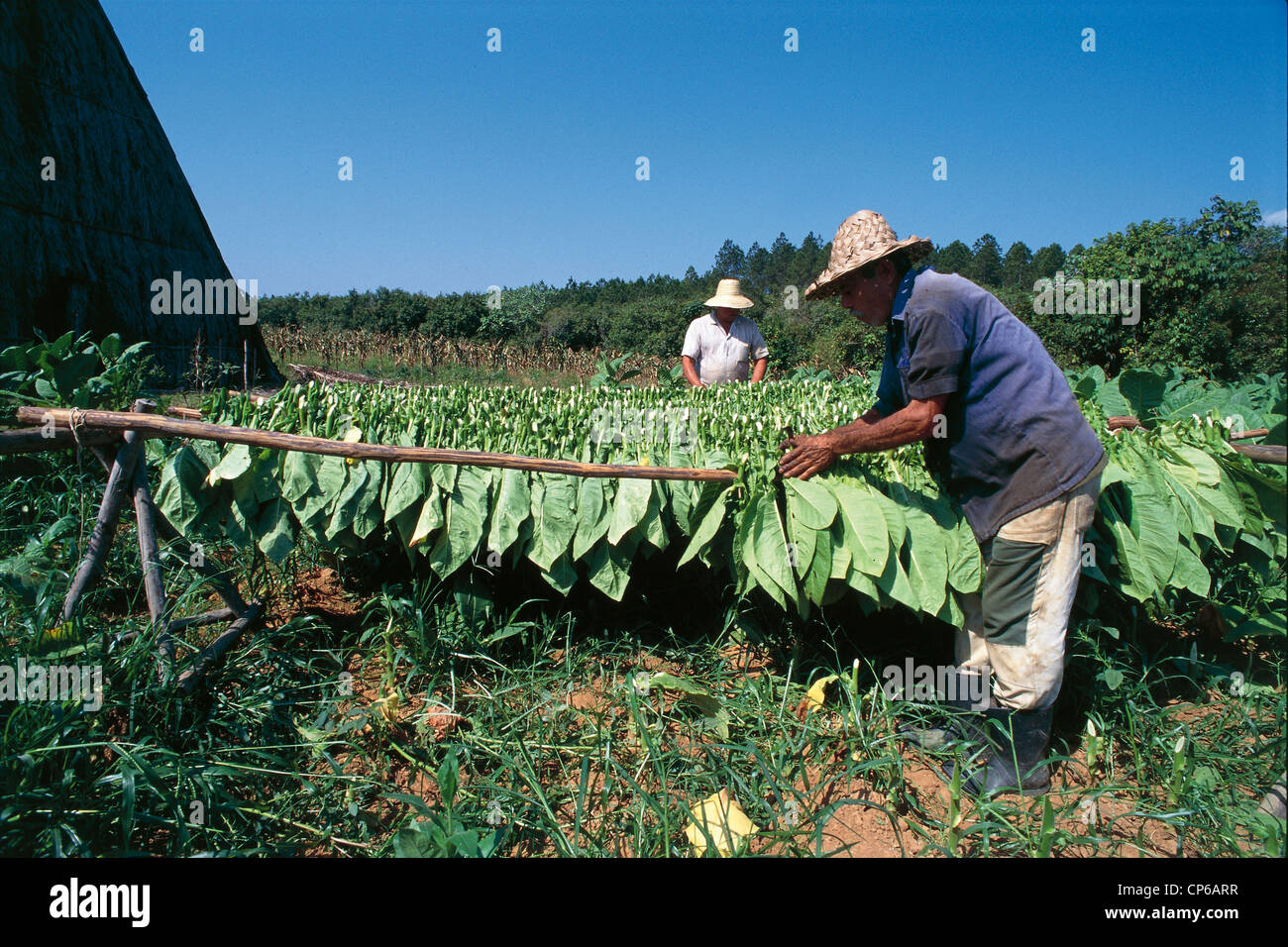 Cuba - Flat Vinales. Drying Of Tobacco Leaves - Stock Image