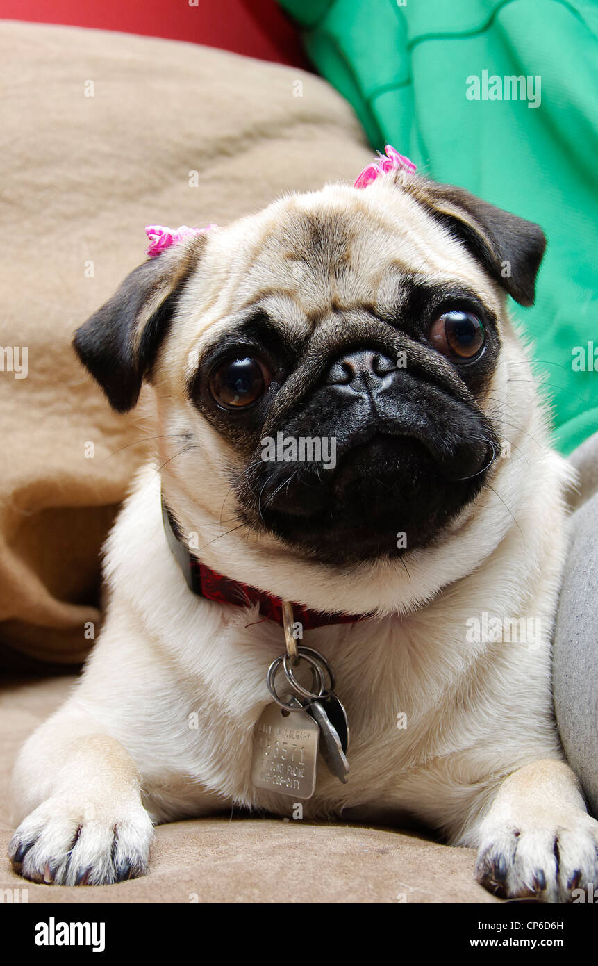 A one year old female fawn coloured pug puppy with pink bows on her ears. - Stock Image