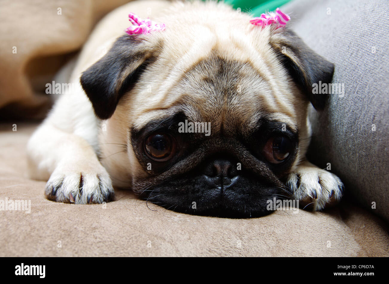 A one year old female fawn coloured pug puppy with pink bows on her ears, head down, looking sad. - Stock Image