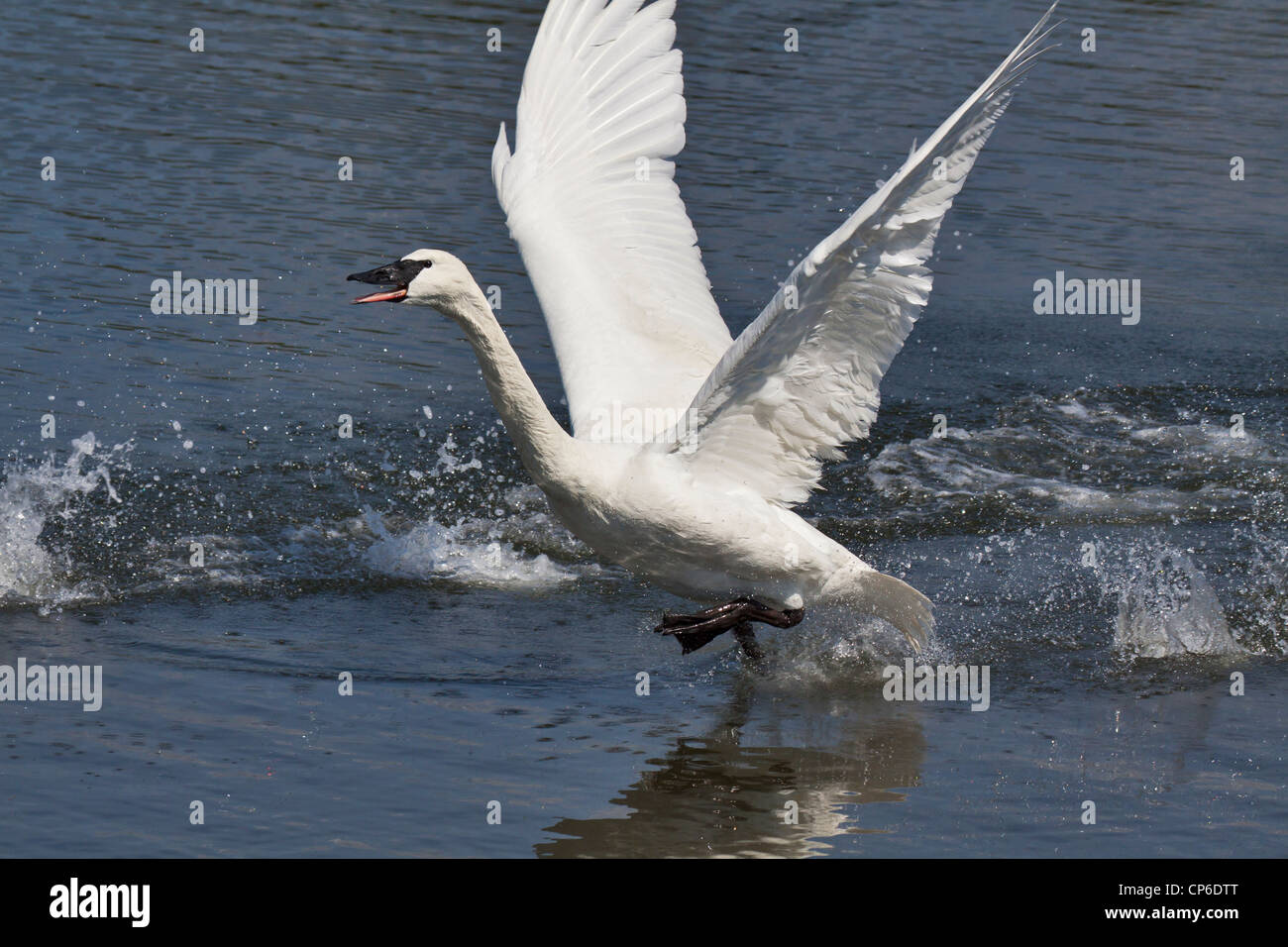 Trumpeter swan on takeoff run from lagoon-Victoria, British Columbia, Canada. - Stock Image