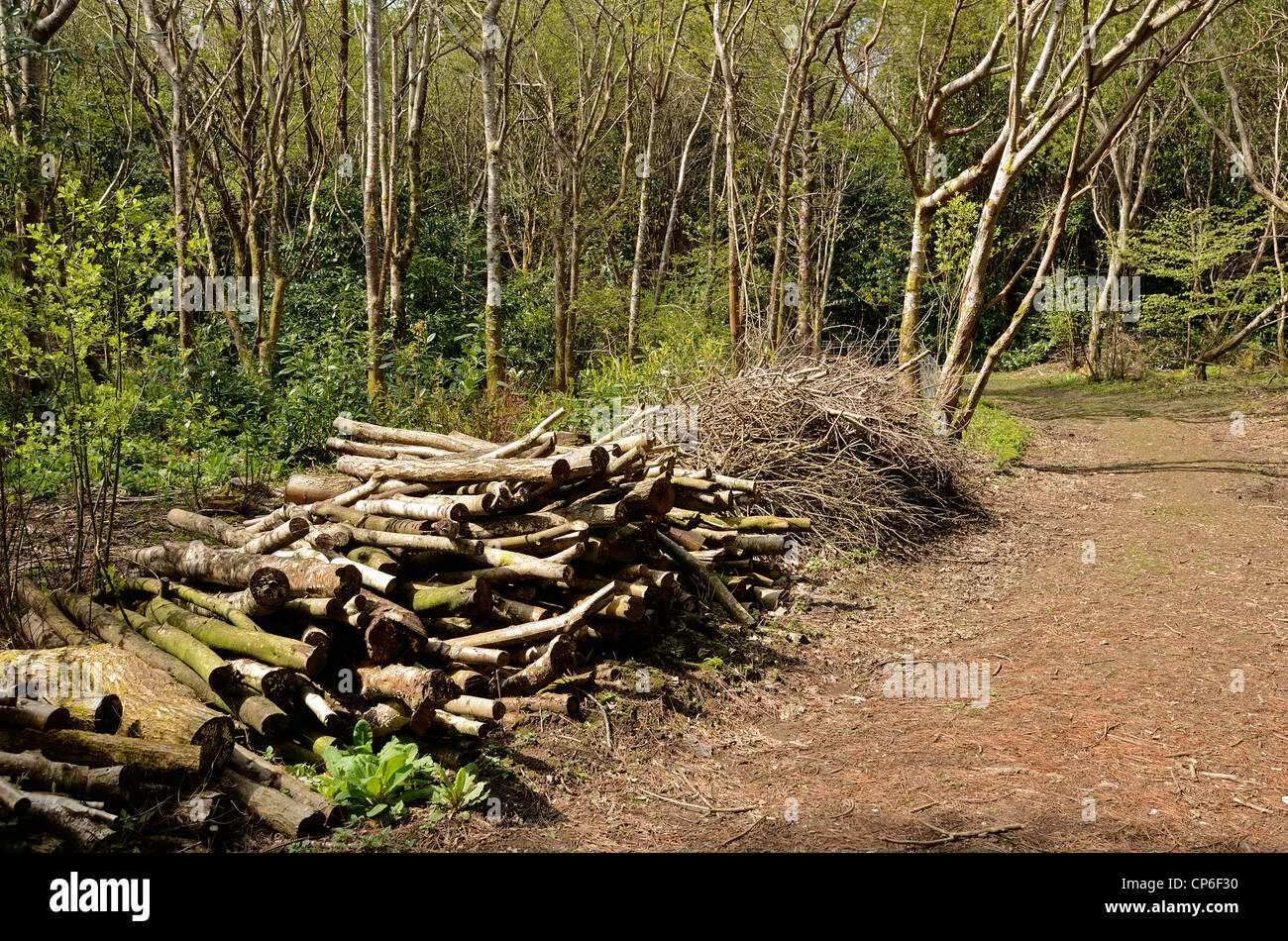 A pile of cut logs from some clearing work in a forest in Cheshire UK - Stock Image