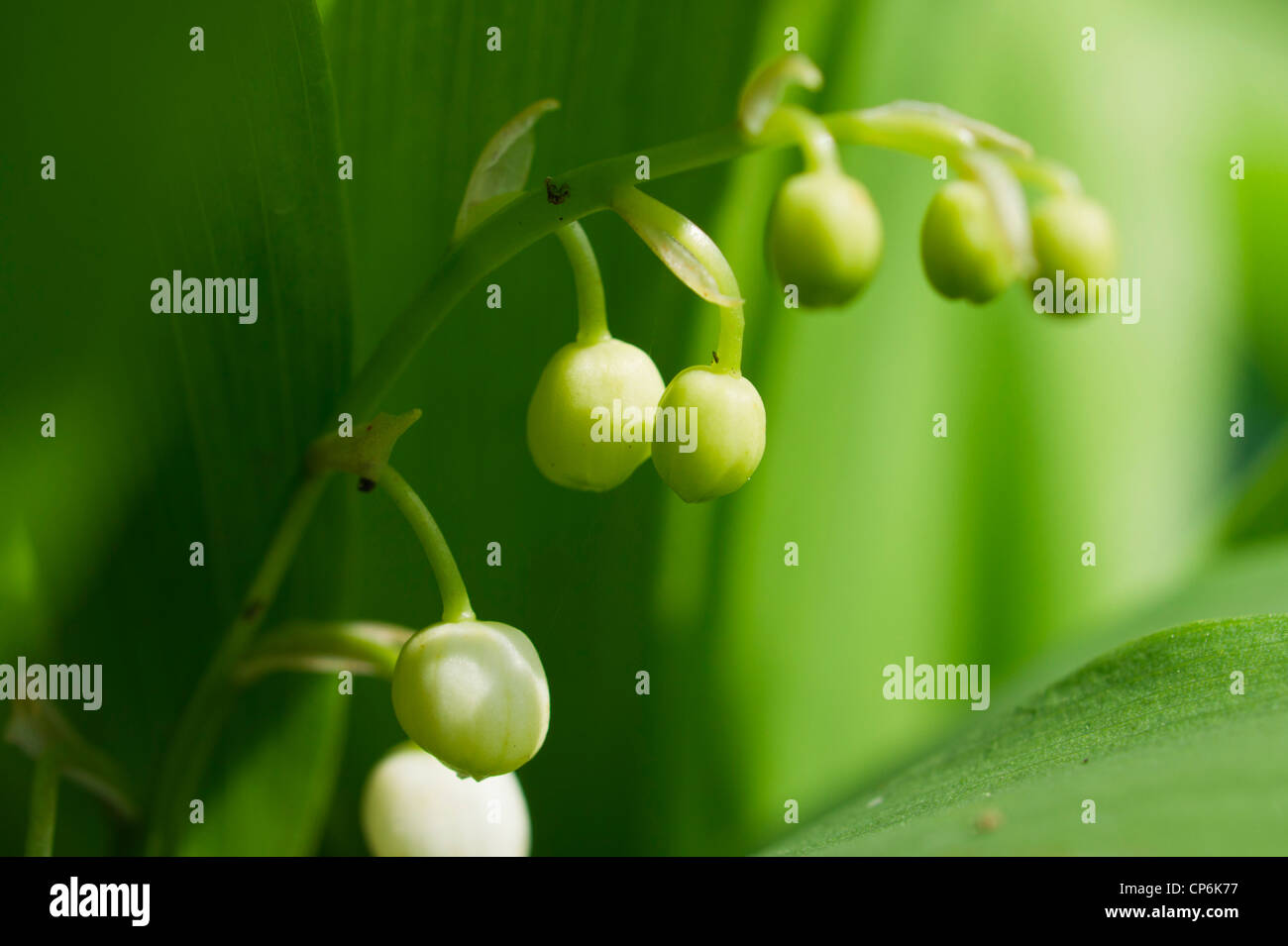Lily of the valley flower buds stock photo 48089979 alamy lily of the valley flower buds izmirmasajfo