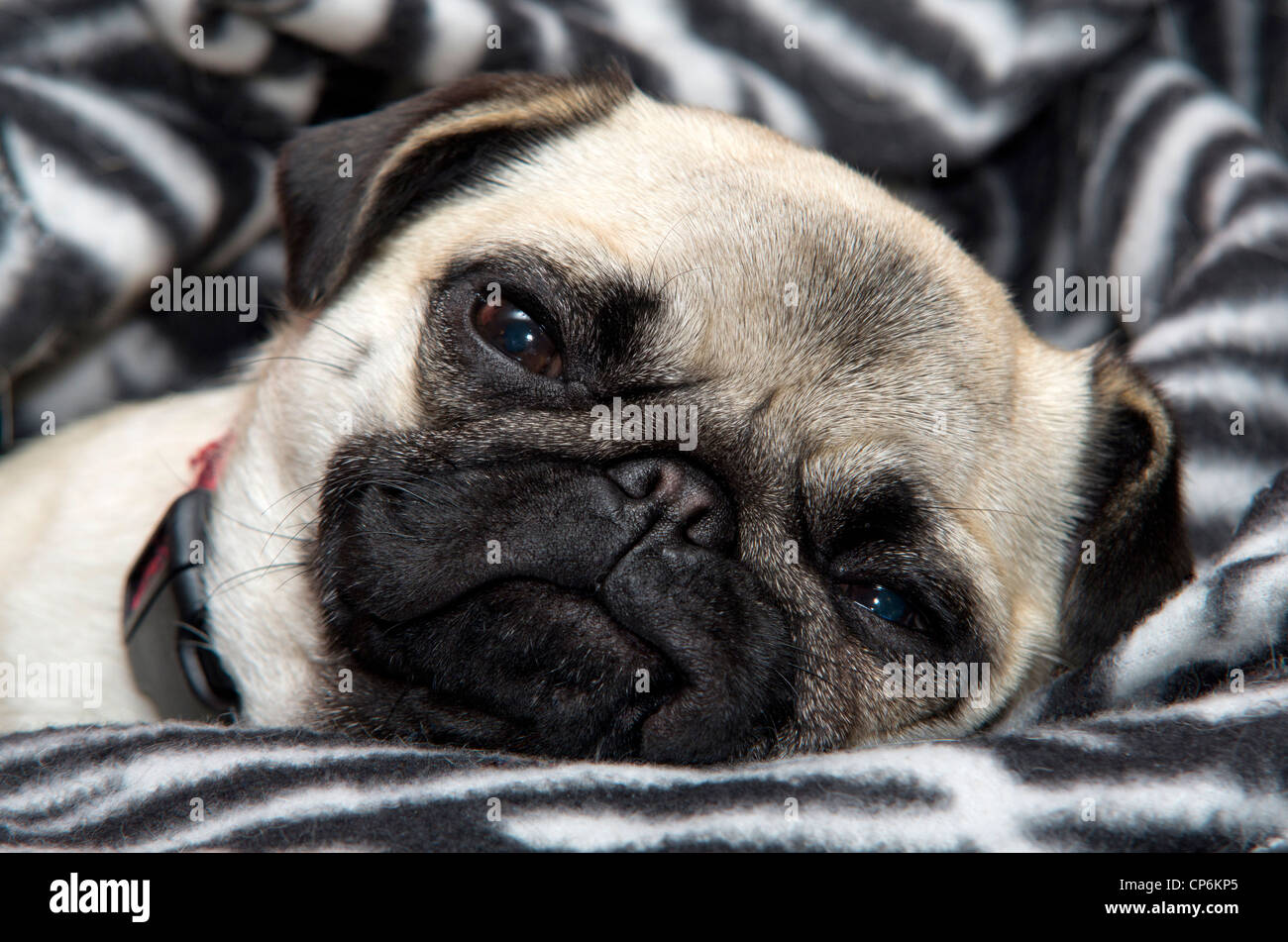 A one year old fawn coloured Chinese Pug dog getting sleepy on a zebra print background. - Stock Image