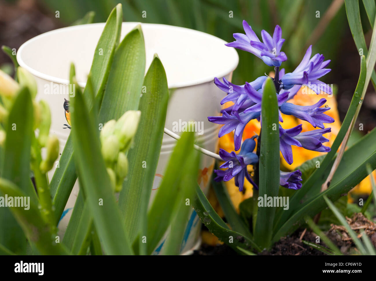 Blooming Spring Flowers With Small White Bucket Stock Photo