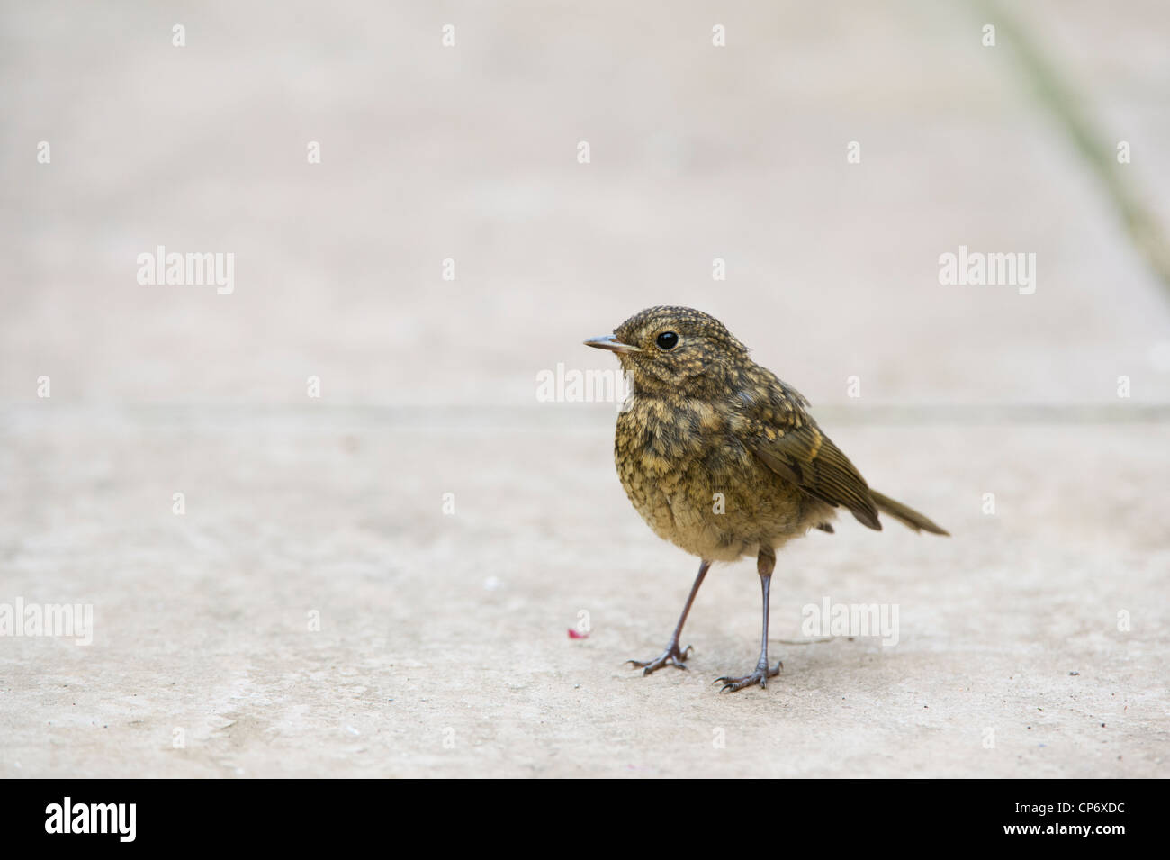 Fledged juvenile Robin on a garden path. UK Stock Photo