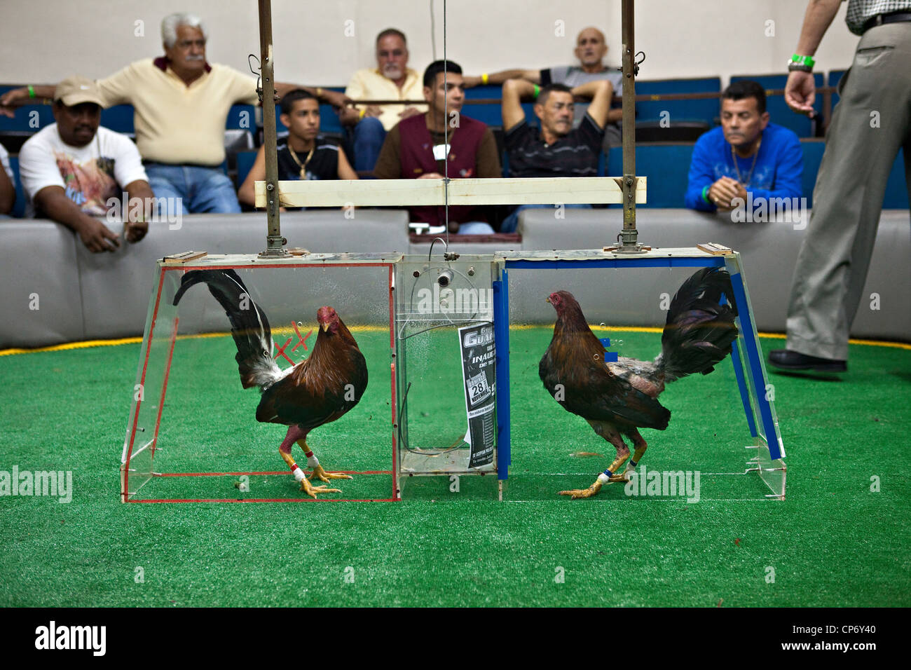 Cock fighting in puerto rico