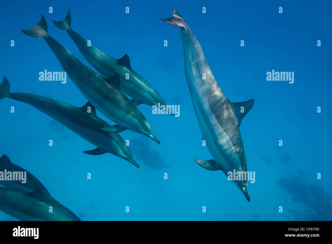 Spinner Dolphins in the Red Sea, Egypt Stock Photo
