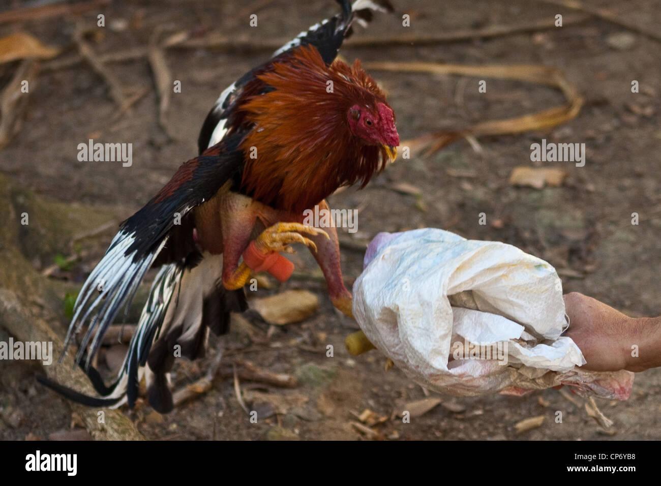 Cock fighting puerto rican