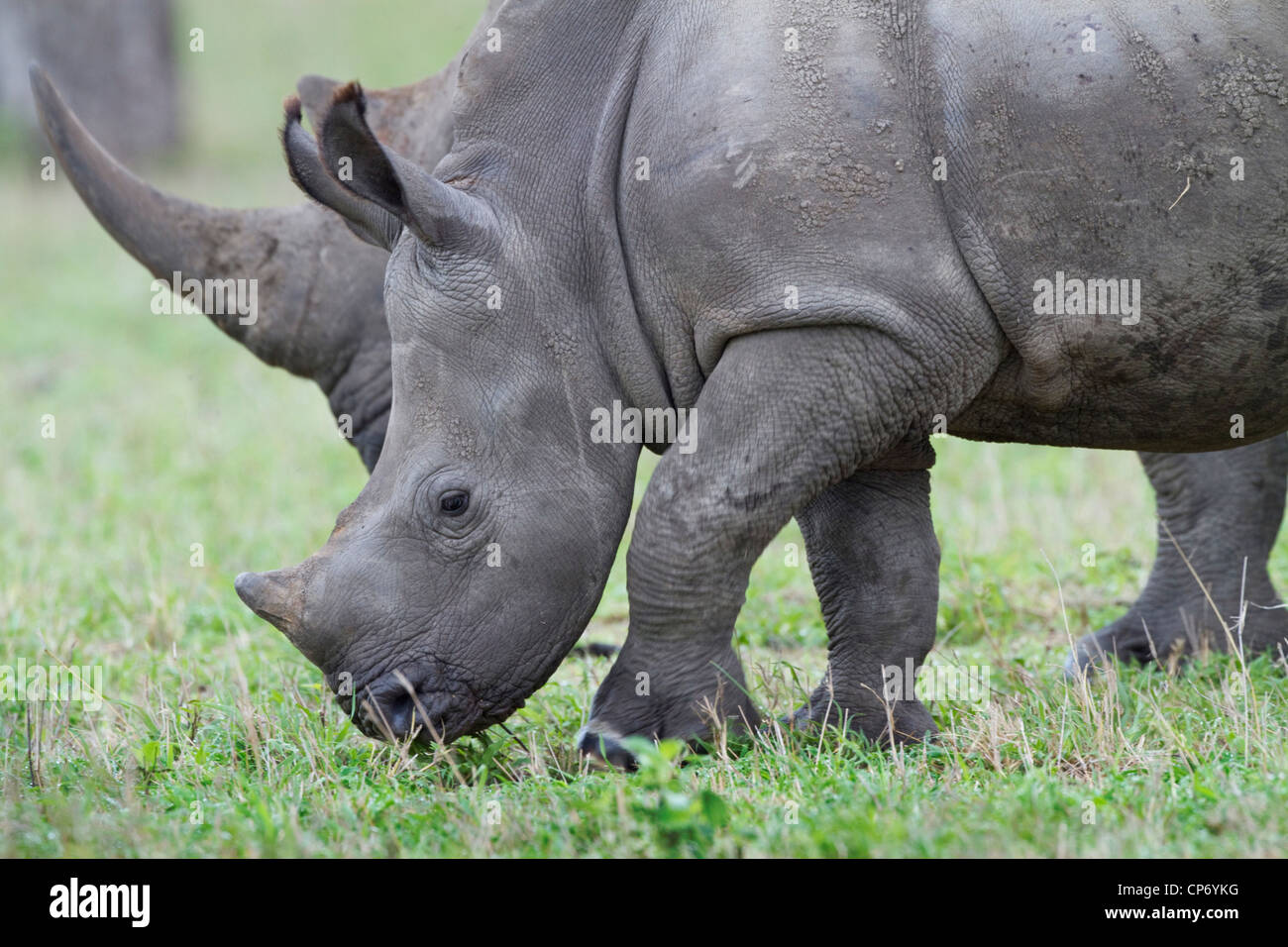 White rhino baby standing side to side with its mother showing the comparative horn sizes - Stock Image