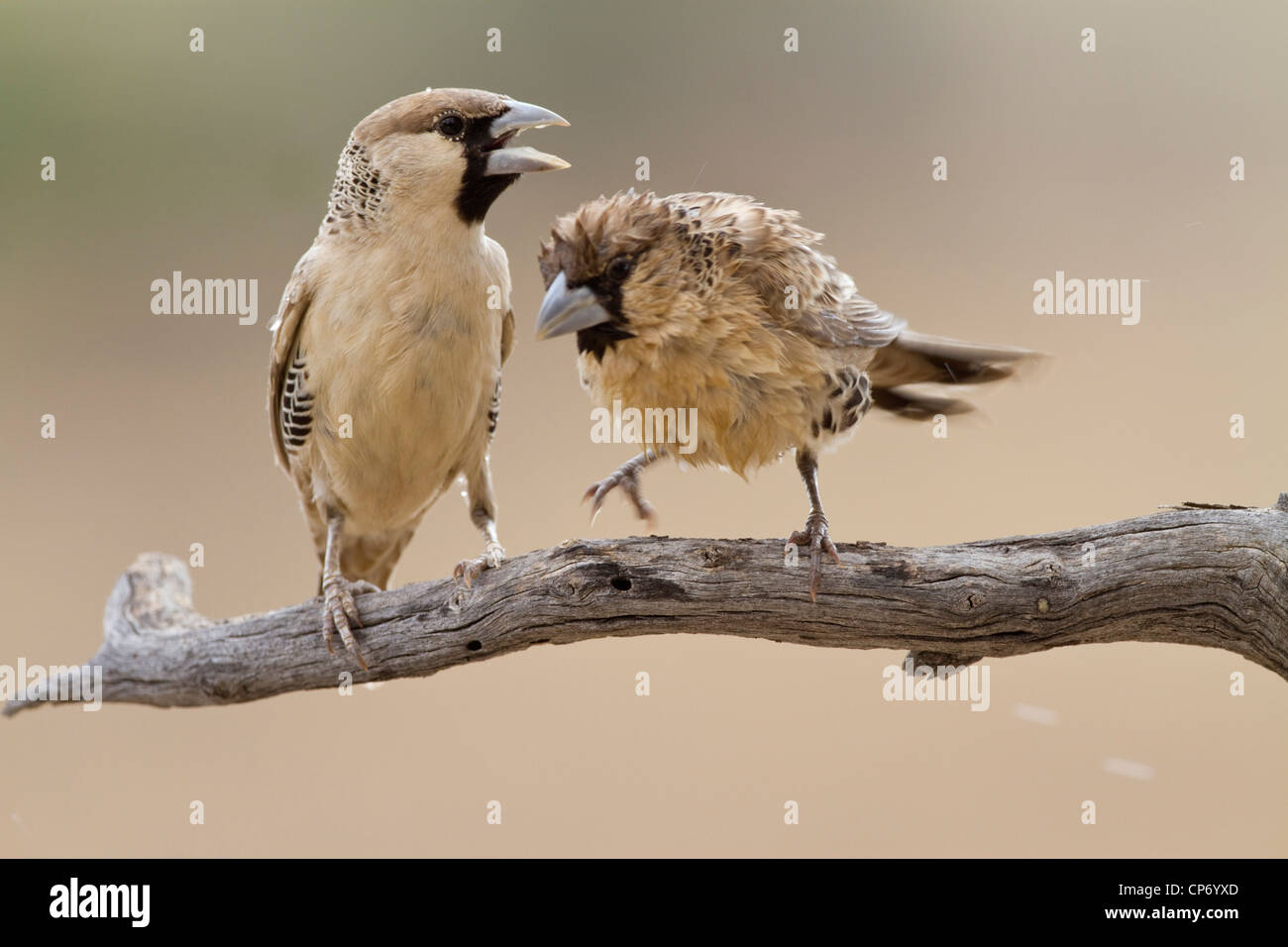 Two sociable weaver birds on a branch one wet from a fresh birdbath - Stock Image