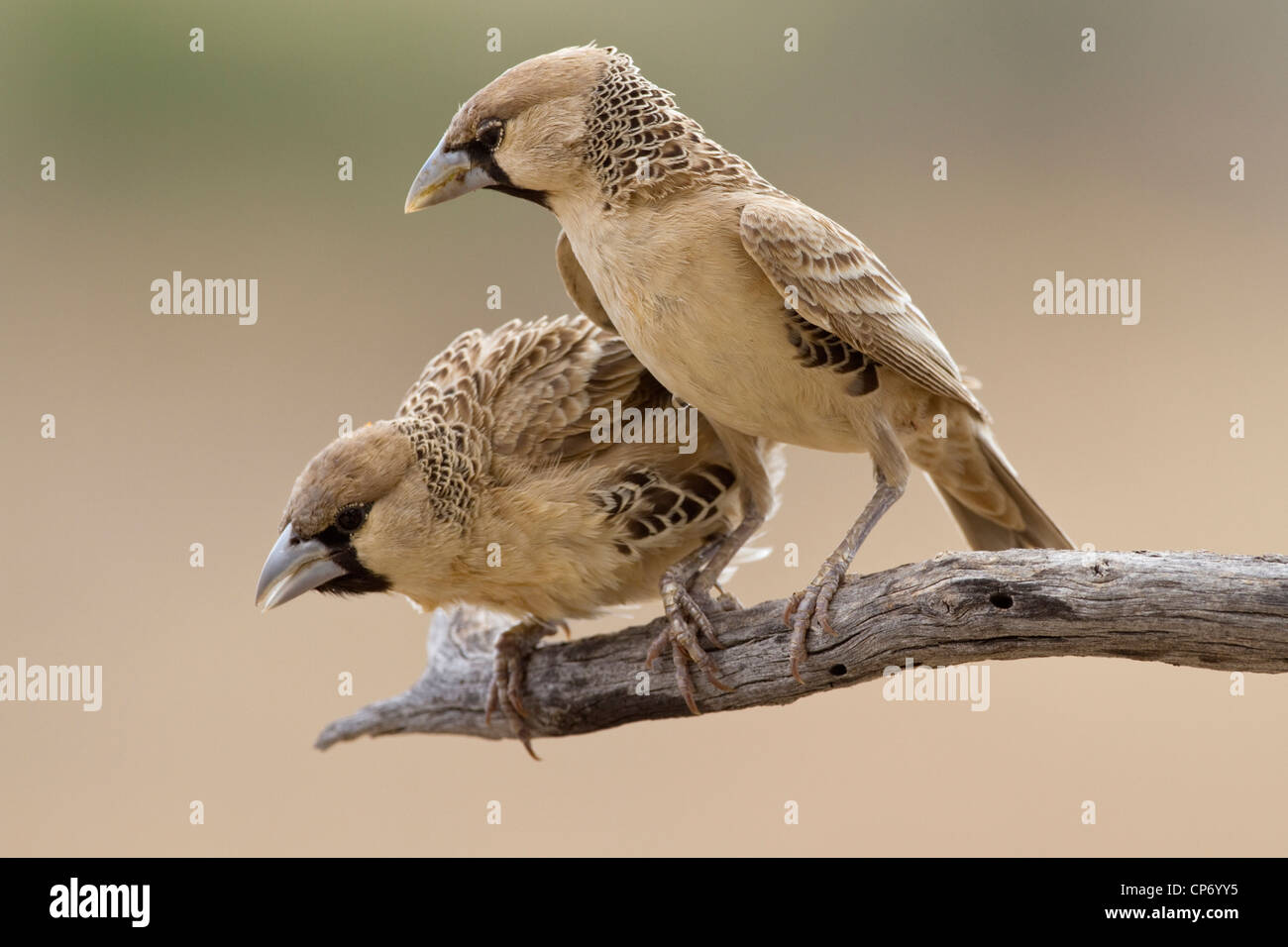 Two sociable weaver birds on a branch one peering downwards - Stock Image