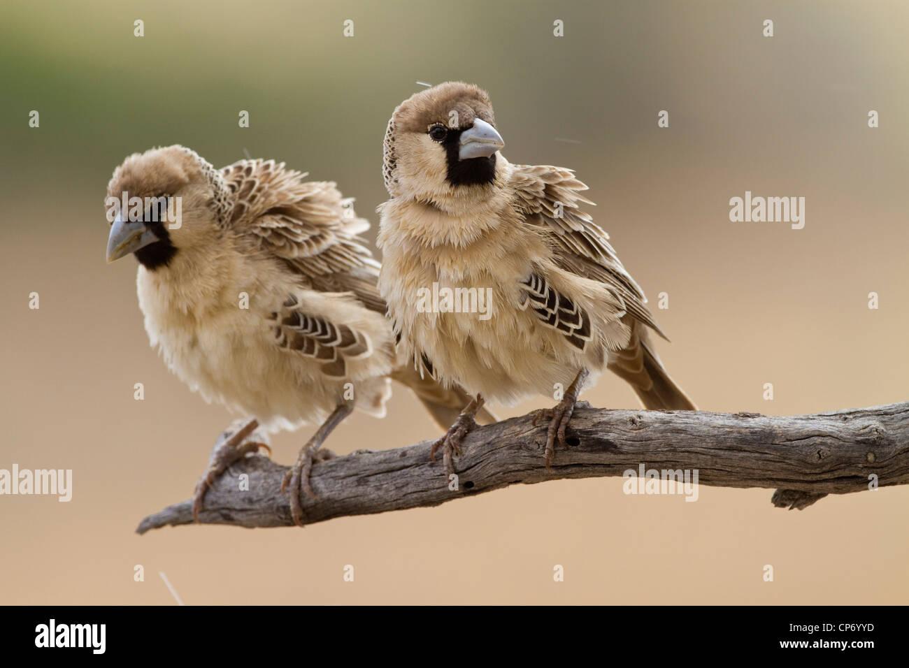 Two sociable weaver birds on a branch - Stock Image
