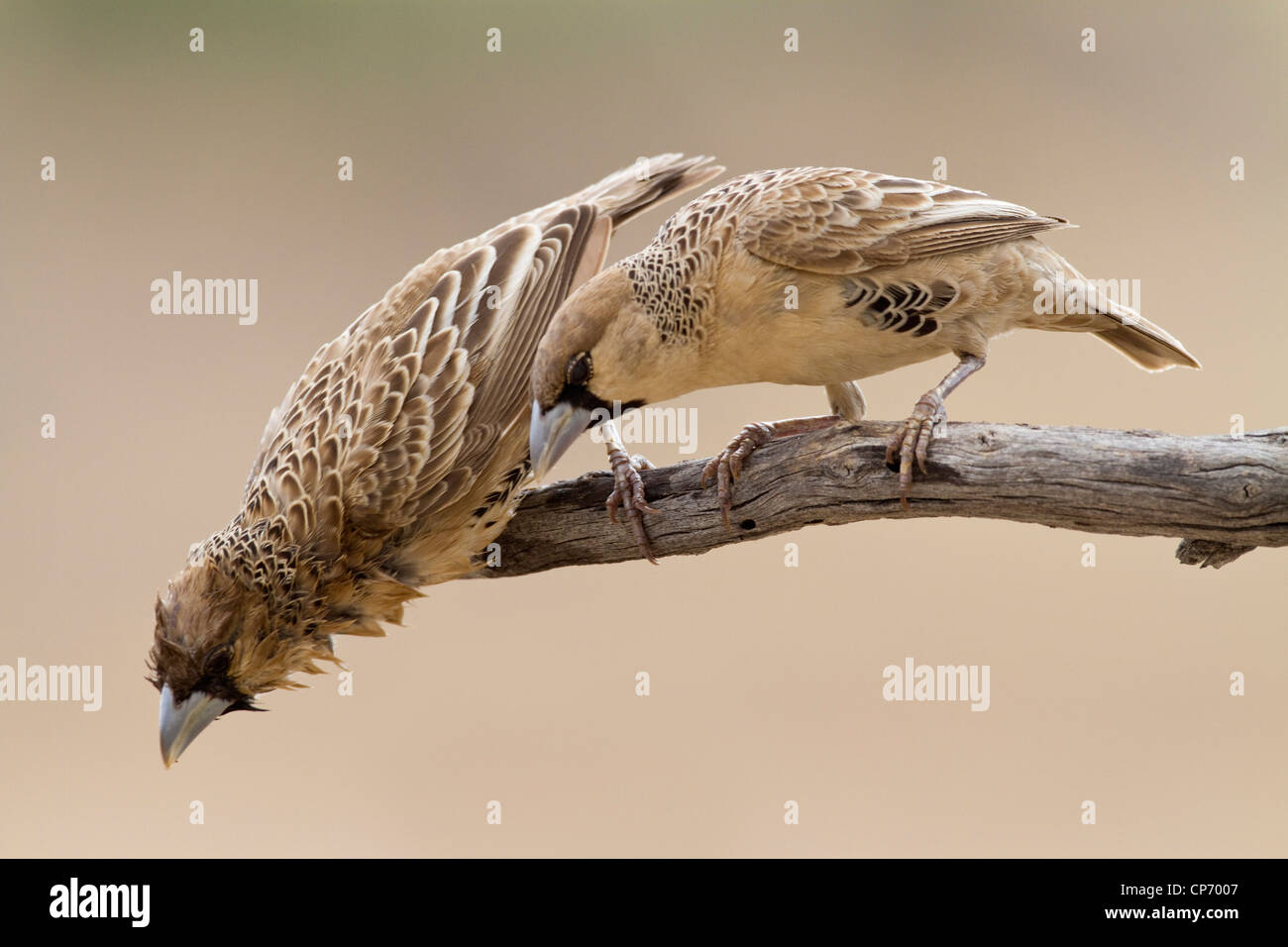 Two sociable weaver birds with one peering curiously downwards - Stock Image