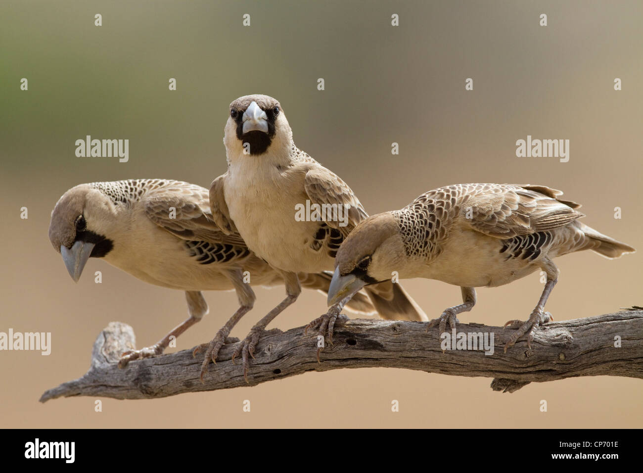 Three sociable weaver birds on a branch looking downwards - Stock Image