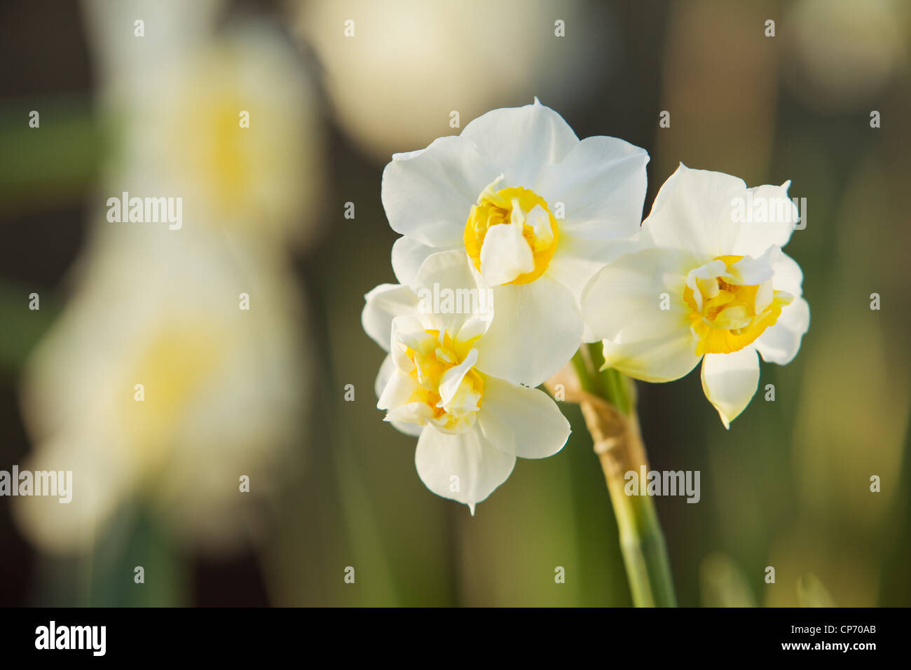 Daffodil 'Cheerfulness' or Narcissus 'White Cheerfulness' - Stock Image