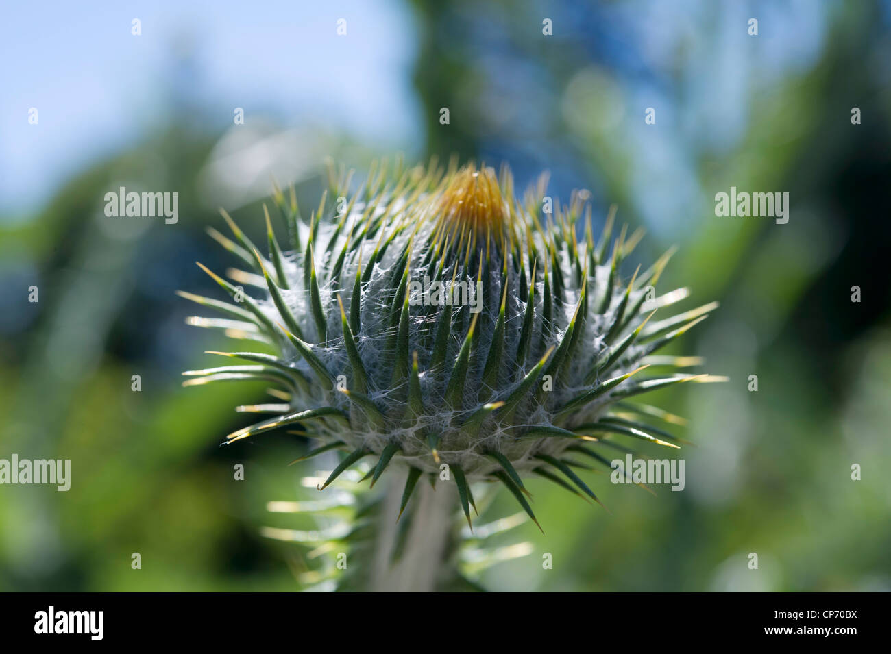 Thistle flower - Stock Image