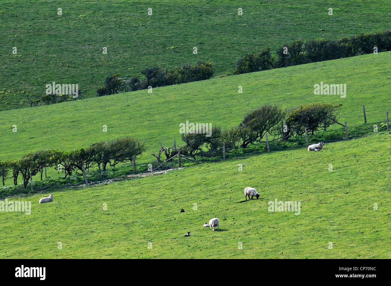 Sheep in a field in East Sussex - Stock Image