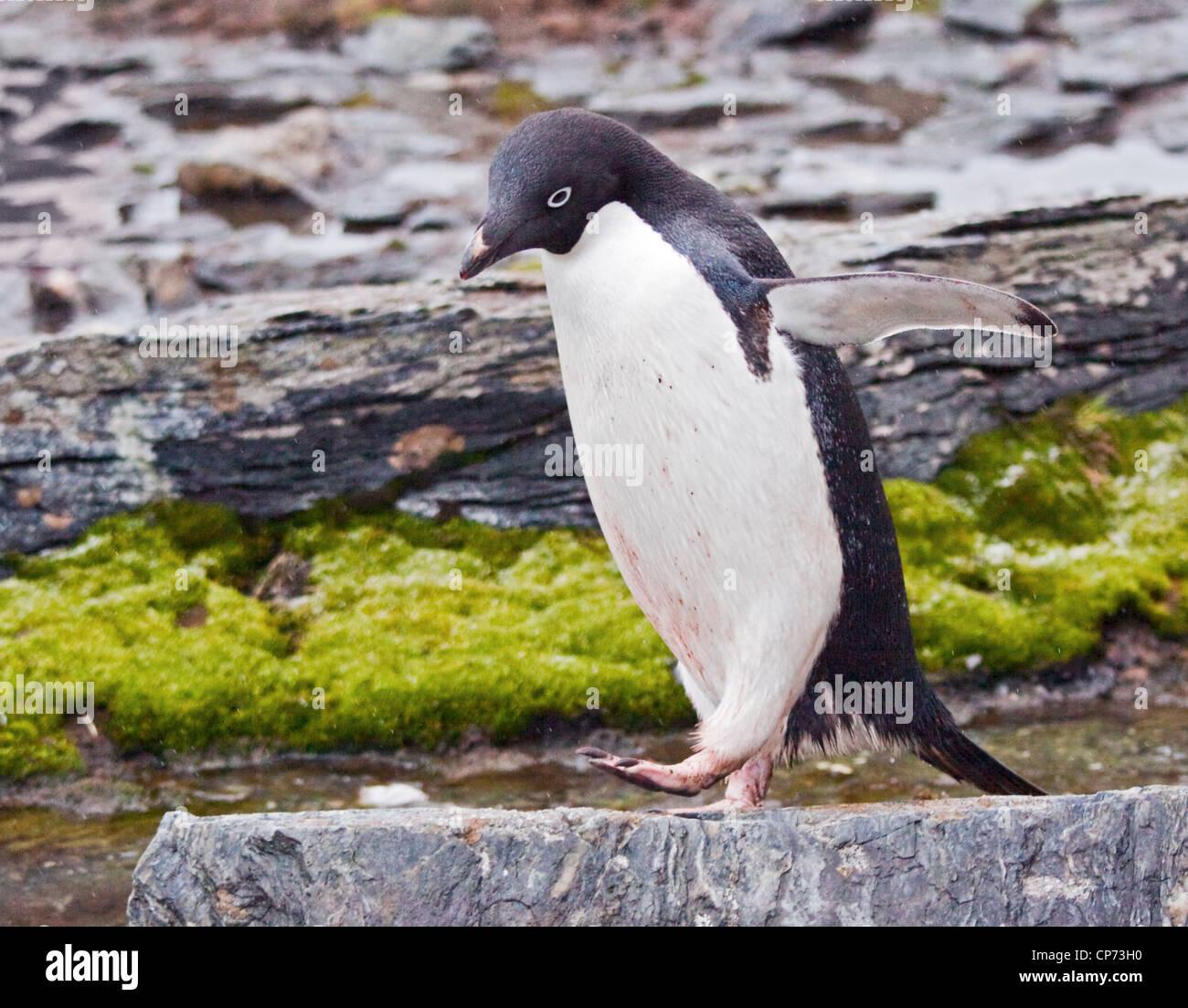Adelie Penguin (pygoscelis adeliae), Shingle Cove, Coronation Island, South Orkneys - Stock Image