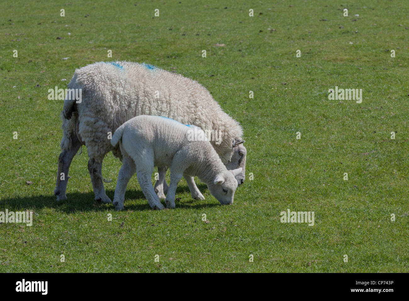 Ewe and her lamb on Romney Marsh, Near Rye, East Sussex. - Stock Image