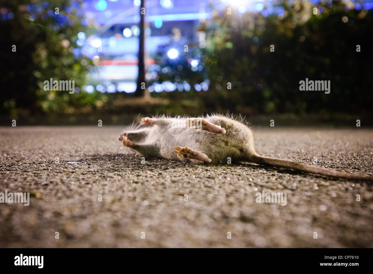 A dead rat on a bike path in New York City, NY, USA. - Stock Image
