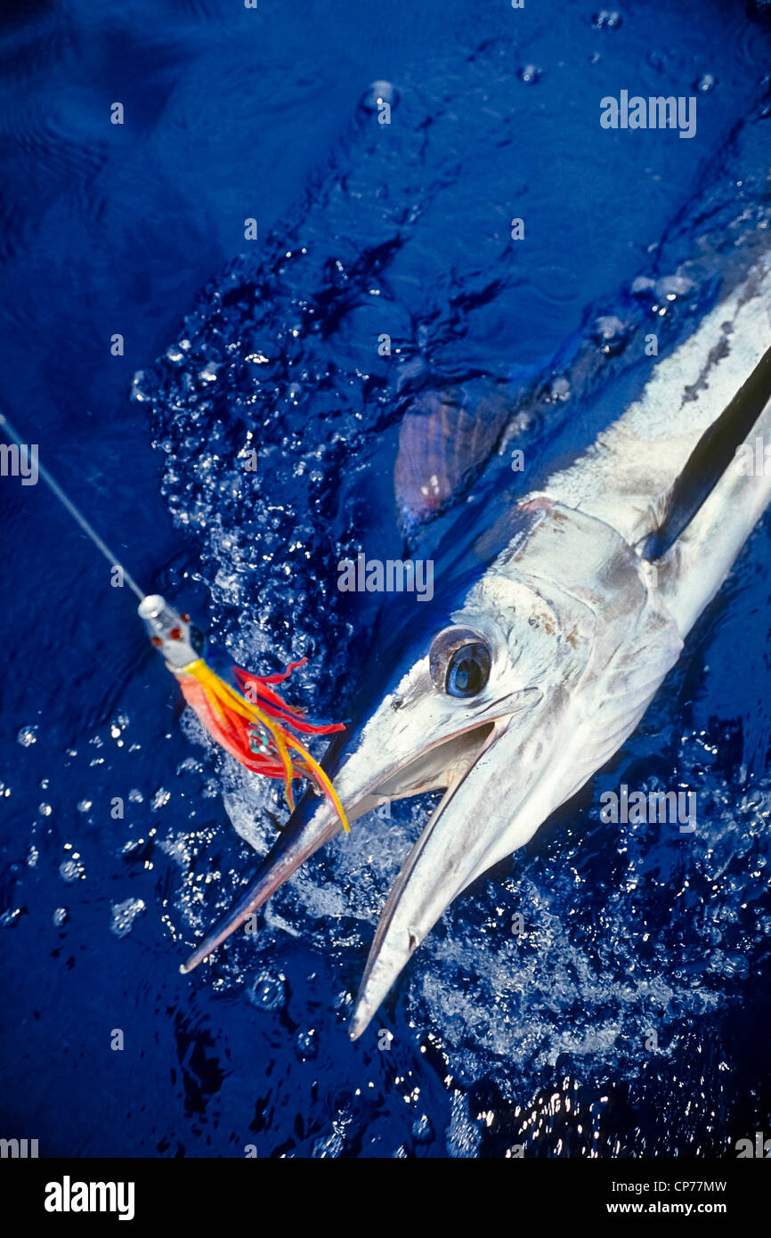 Short-billed Spearfish Hooked with Hawaiian Jet Head Trolling Lure Stock Photo