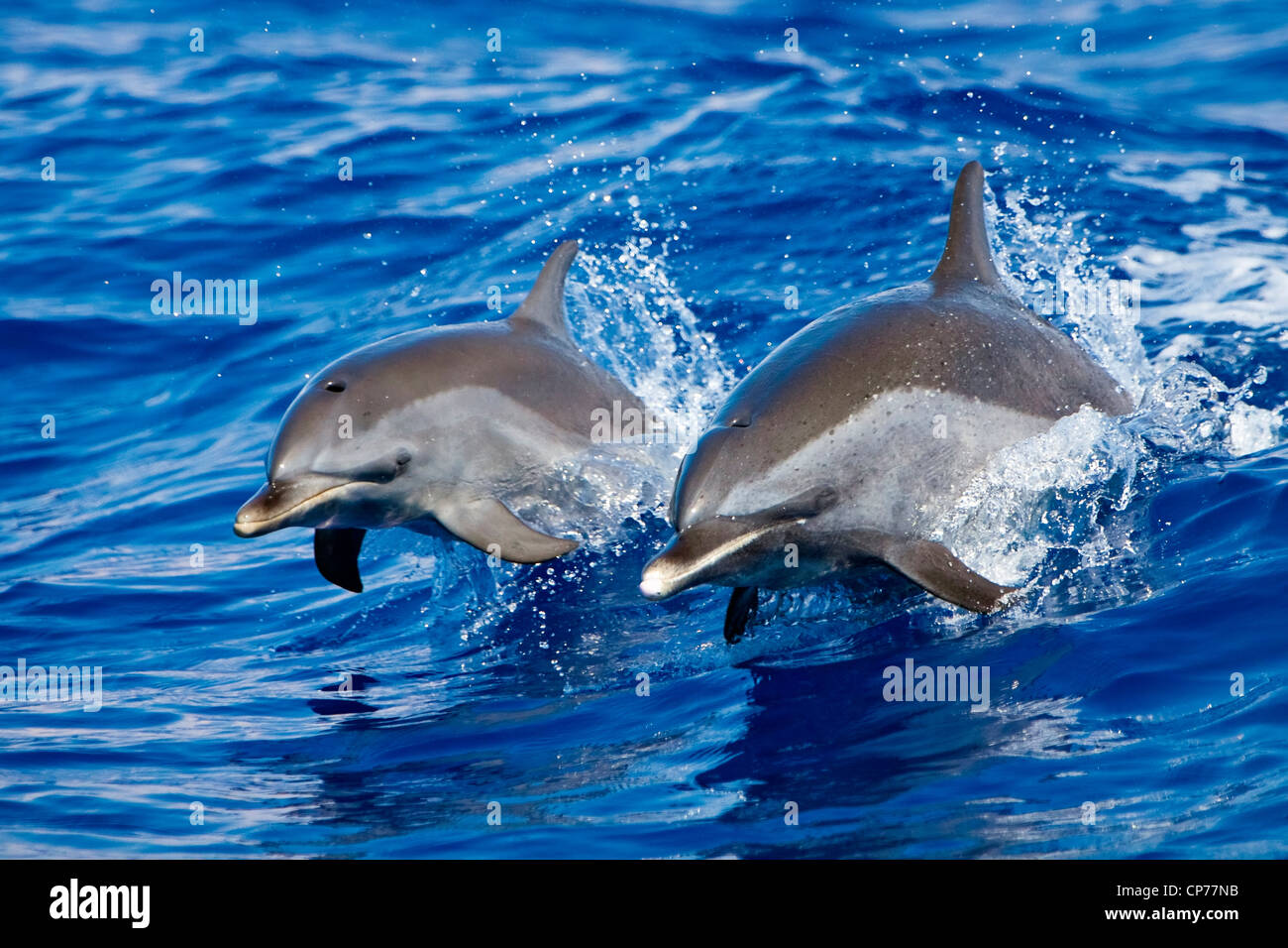 Pantropical spotted dolphin wake riding - Stock Image