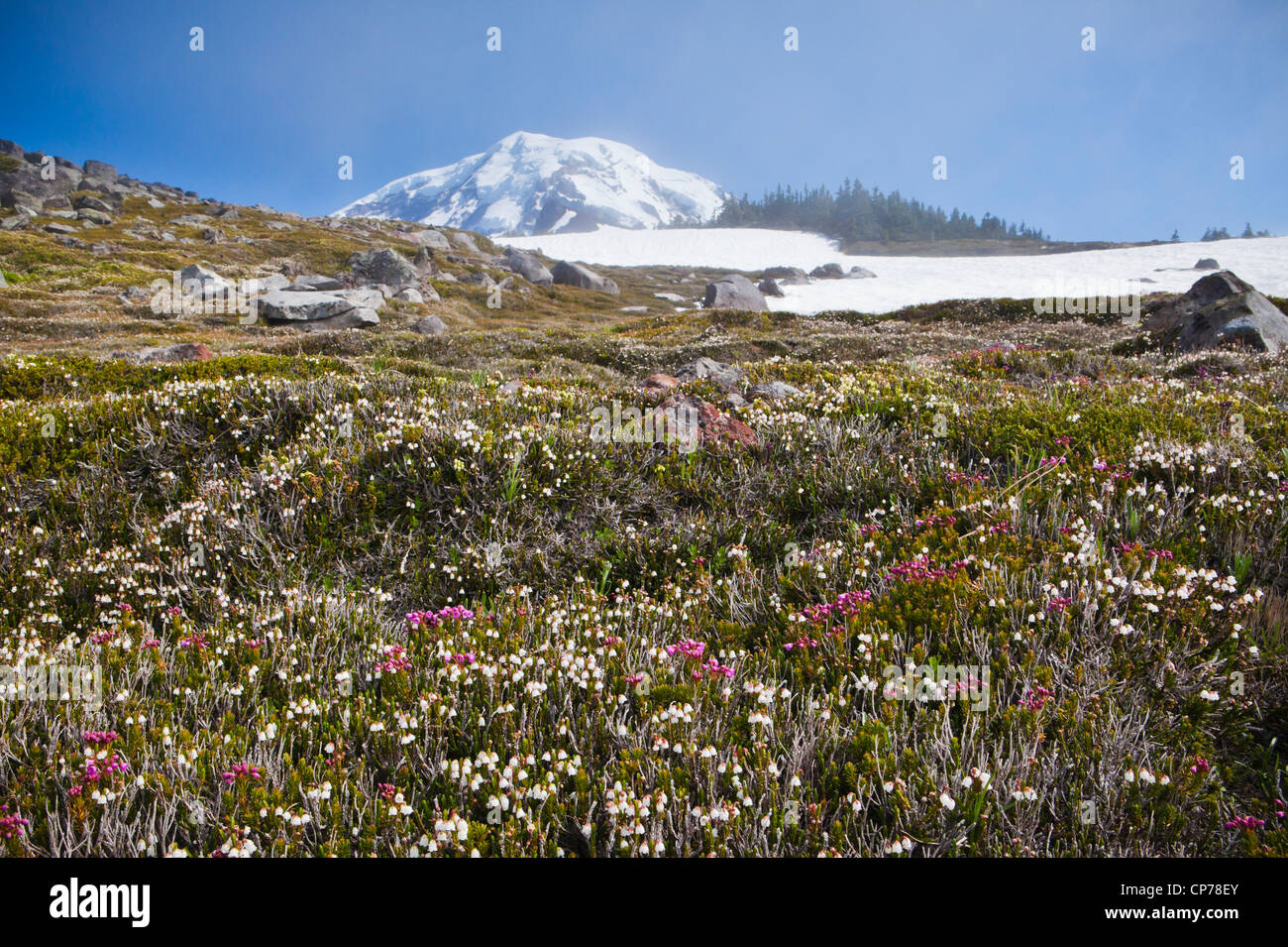 The top of Mount Rainier peaking up above Spray Park in Mount Ranier National Park, Washington, USA. - Stock Image