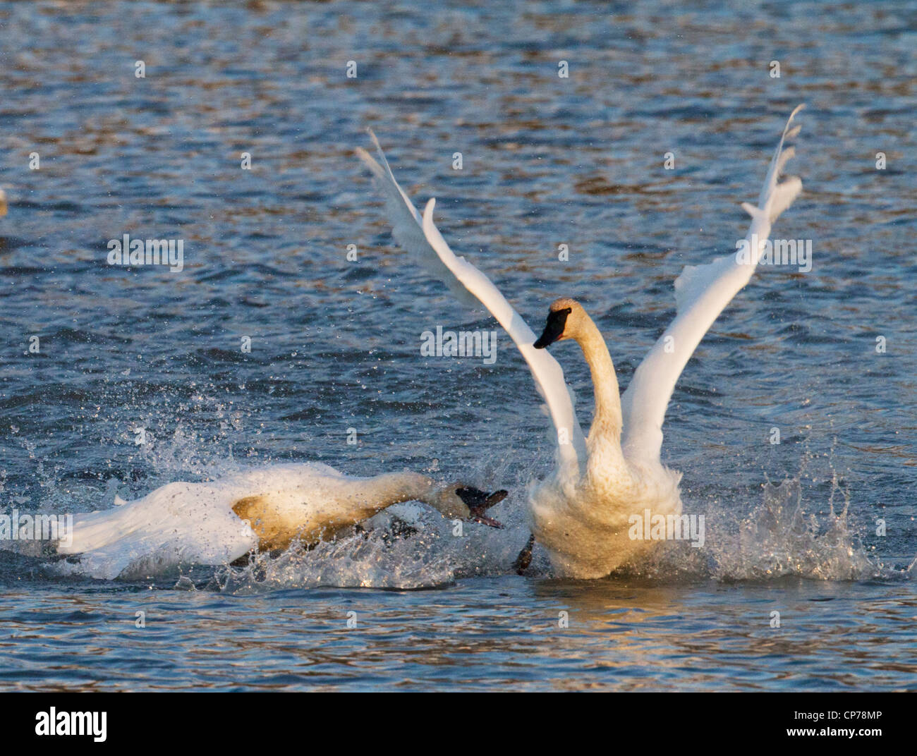 Trumpeter Swan attacks another at Potter Marsh near Anchorage, Southcentral Alaska, Autumn - Stock Image