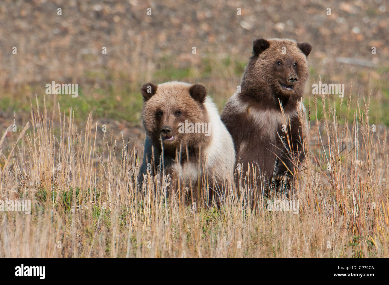 Spring Grizzly cubs playing in the grass, Denali National Park & Preserve, Interior Alaska, Autumn - Stock Image