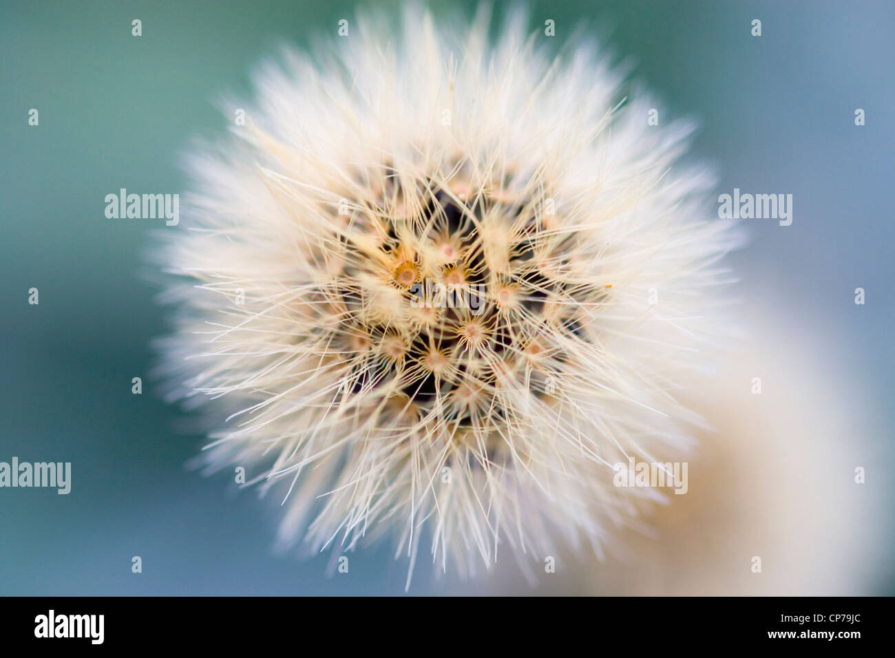 Mount Parnassus scabious, Pterocephalus perennis, white hairy seed head seen from above. - Stock Image