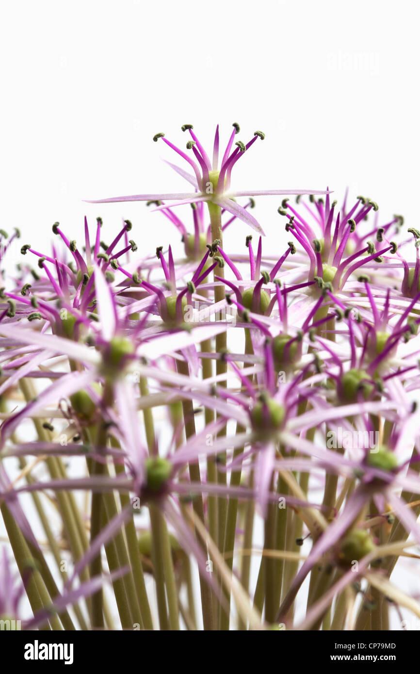 Allium christophii, Allium, Purple, White. - Stock Image