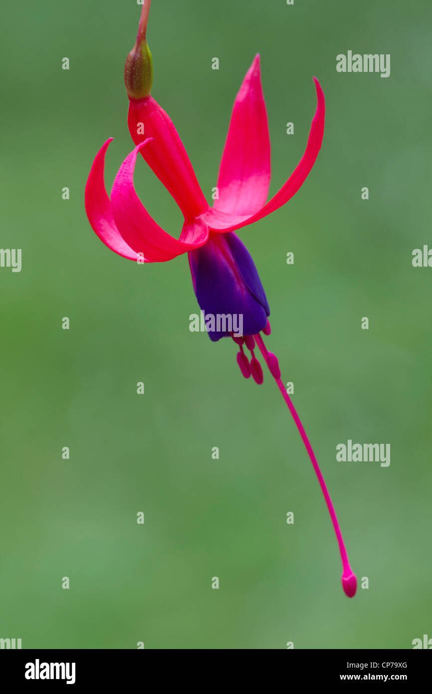 Fuchsia 'Baby Blue Eyes', Fuchsia, Pink, Green. - Stock Image