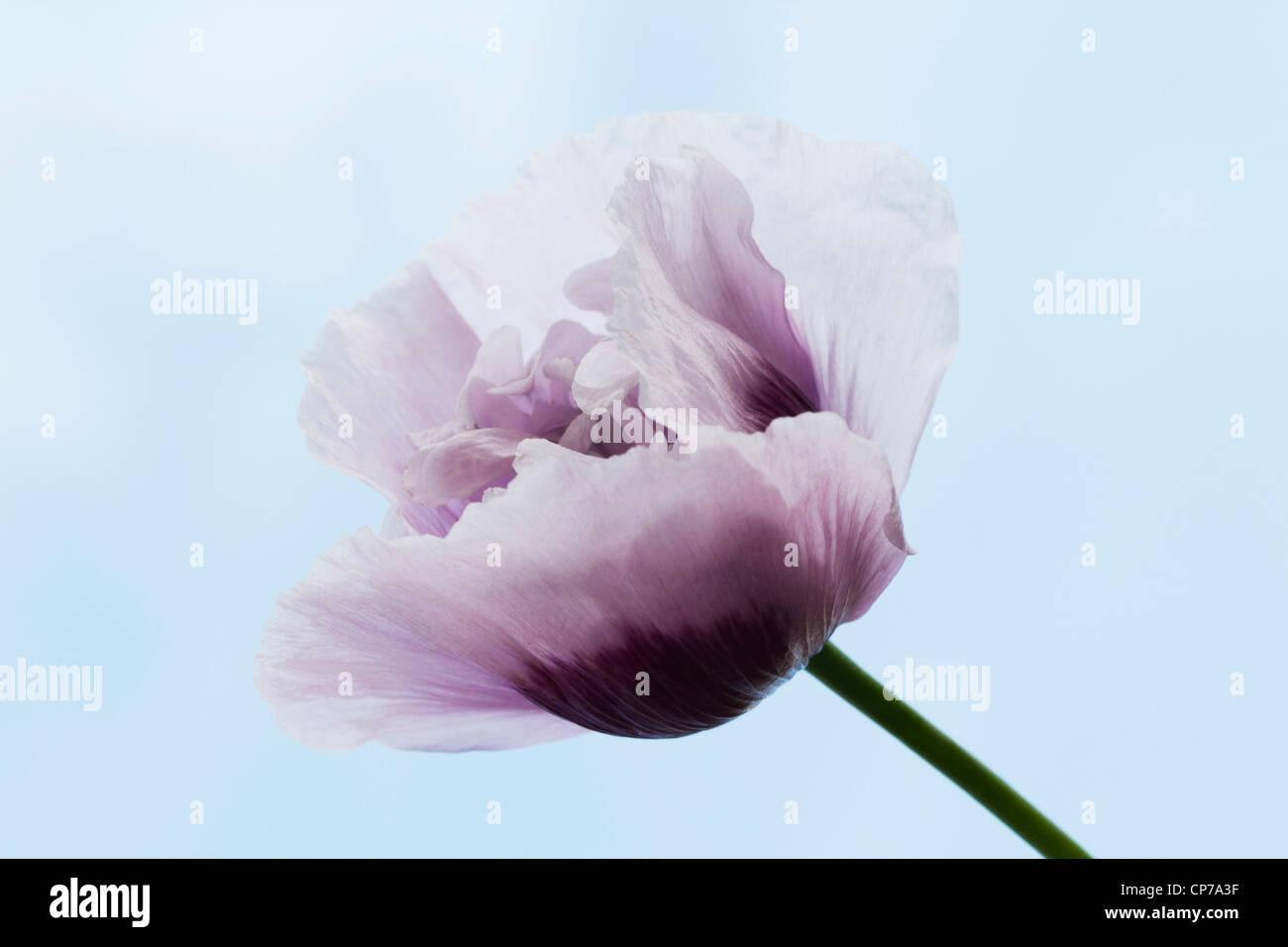 Papaver somniferum, Poppy, Opium poppy, White, Blue. Stock Photo