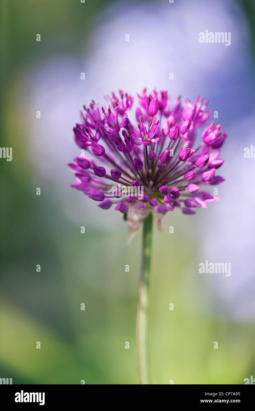 Allium schoenoprasum, Chive, Purple. - Stock Image