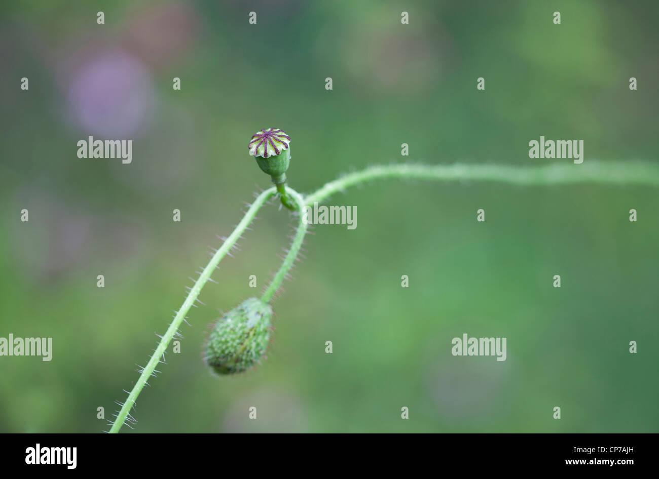 Papaver rhoeas, Poppy, Green, Green. - Stock Image